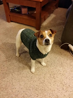 Knitting Pattern For Jack Russell Dog Coat : Ravelry: Mock Cable Jack Russell Sweater pattern by Linda Hurst