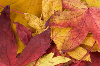 Maple_leaf_small2