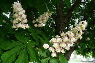 Chestnutblooms_small2