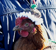 Christmas_pudding_chicken_coat_face_shot_small