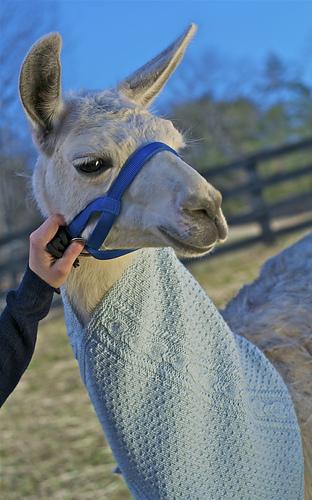 Bramble_on_llama_medium