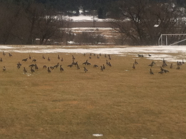 Yay, geese!