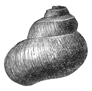 Valvata_utahensis_shell_4_small2