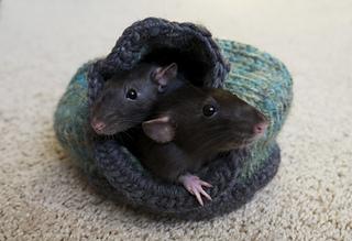 Rats_1_small2