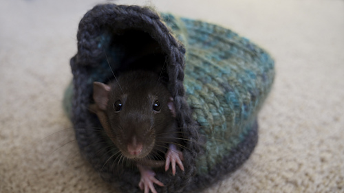 Rats_2_medium