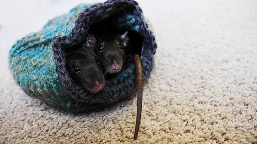 Rats_6_medium