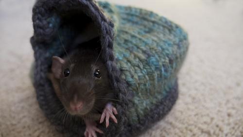 Rats_3_medium