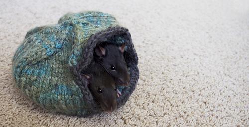 Rats_7_medium