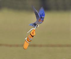 Blue_bird__centered_432_small