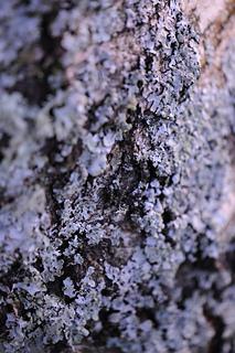 Lichen_small2