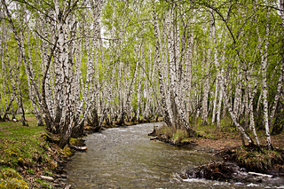 Beautiful-russian-birch-trees-and-river-by-istaotdushi-dhta_small2