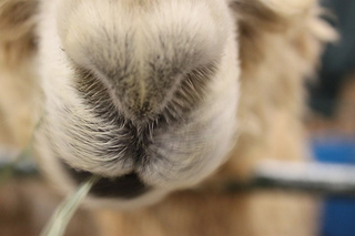 Alpaca_small2