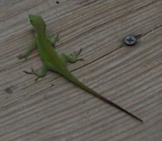 Green_lizard_small2