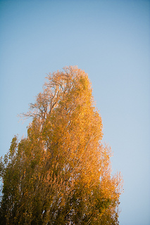 Poplar_tree_small2