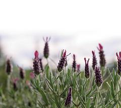 Lavendel_small
