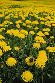 Dandelion_field_small2