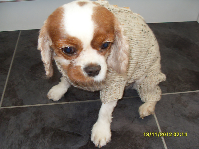 Ravelry Four Legged Dog Coat Pattern By Maggie Mair