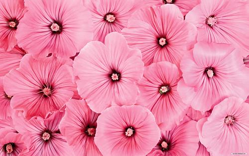 Pink-flowers-hd-wallpapers_medium