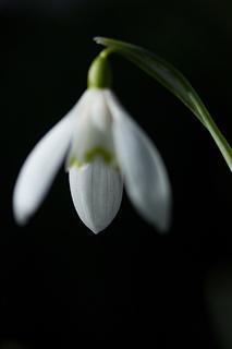 Small_snowdrop1_small2