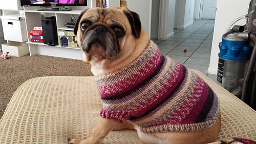 Ravelry Pug Dog Sweater Pattern By Angelcatkins Elizabeth Watkins